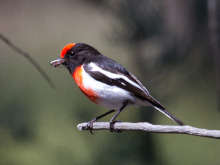 Red-capped Robin. Image: Jodie Webber