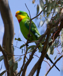 Superb Parrot. Image: Jodie Webber