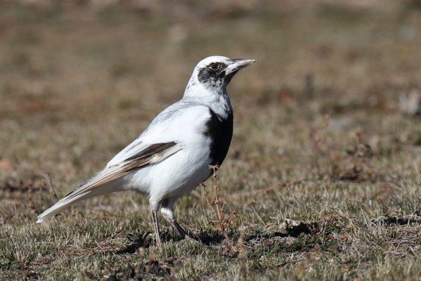 Leucistic Australian Magpie