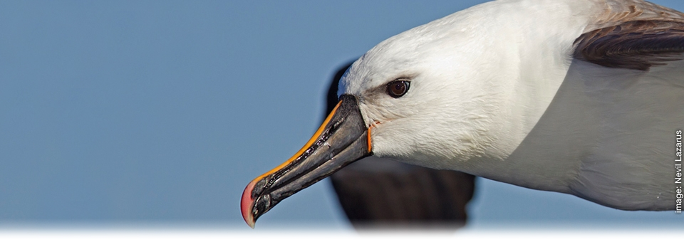 <h2>Sharing Nature's Awesome <strong>Majesty</strong></h2><h3>Yellow-nosed Albatross</h3>