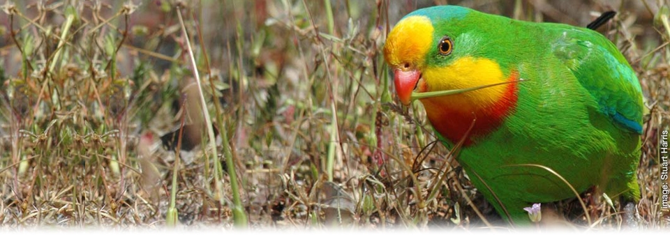 <h2><strong>Reducing</strong> the Threat of Extinctions</h2><h3>Superb Parrot</h3>