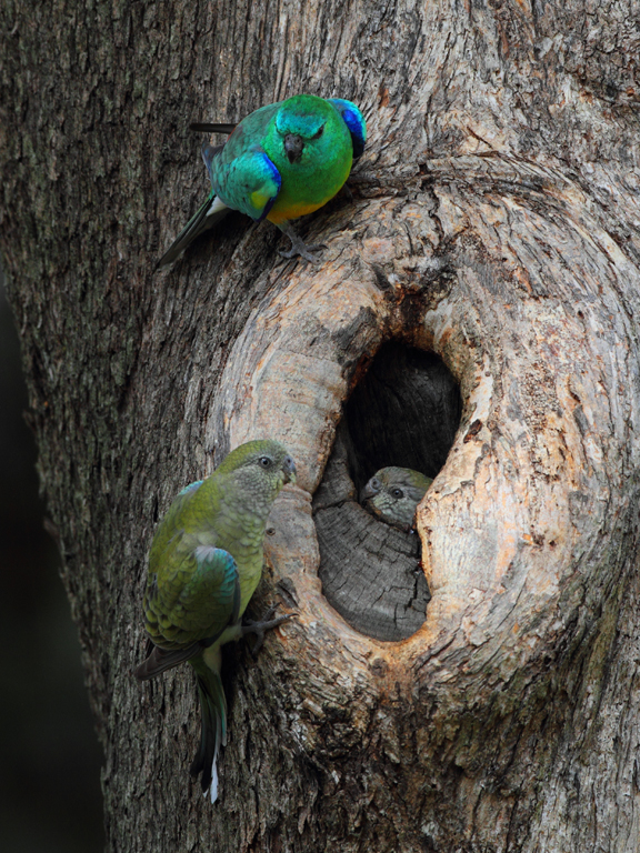 #08 Red-rumped Parrot (Property Inspection)