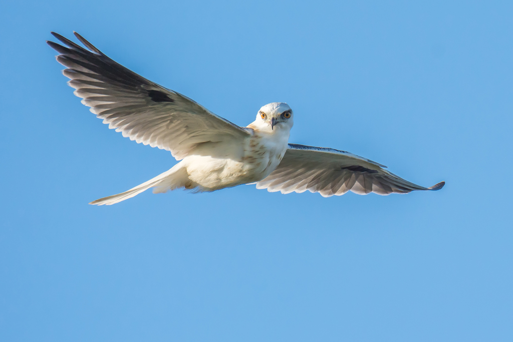 #88 Juvenile Black-Shouldered Kite