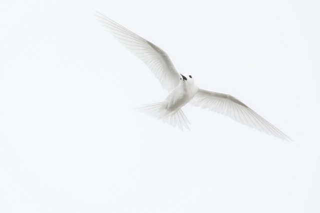 no 4 64_White Tern