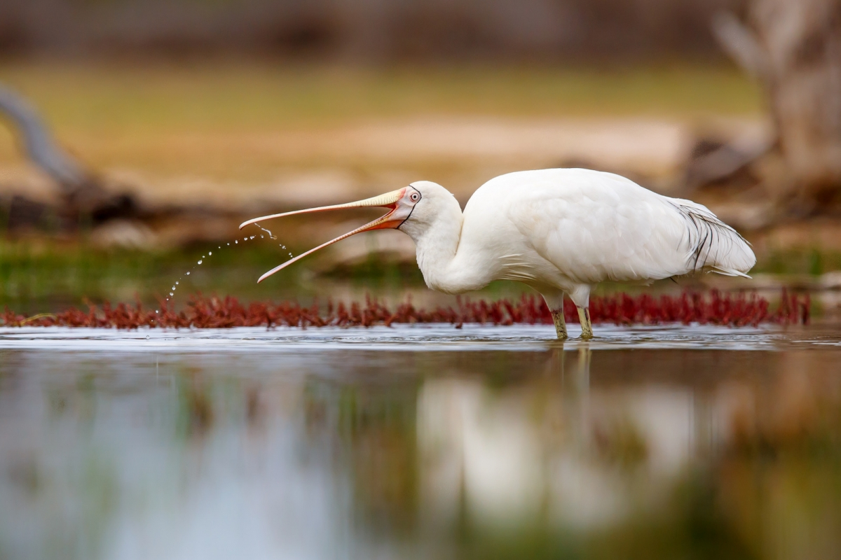 no1 53_Yellow-billed Spoonbill