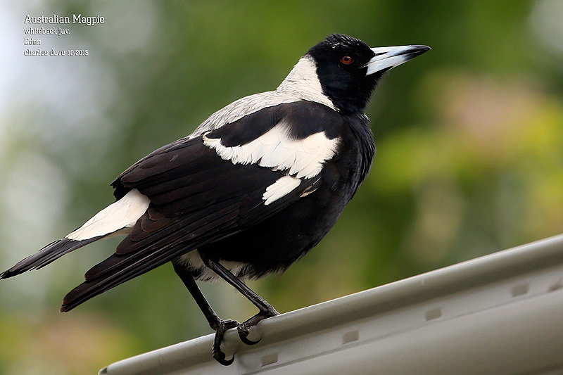 Australian-Magpie-whiteback_L2A8818