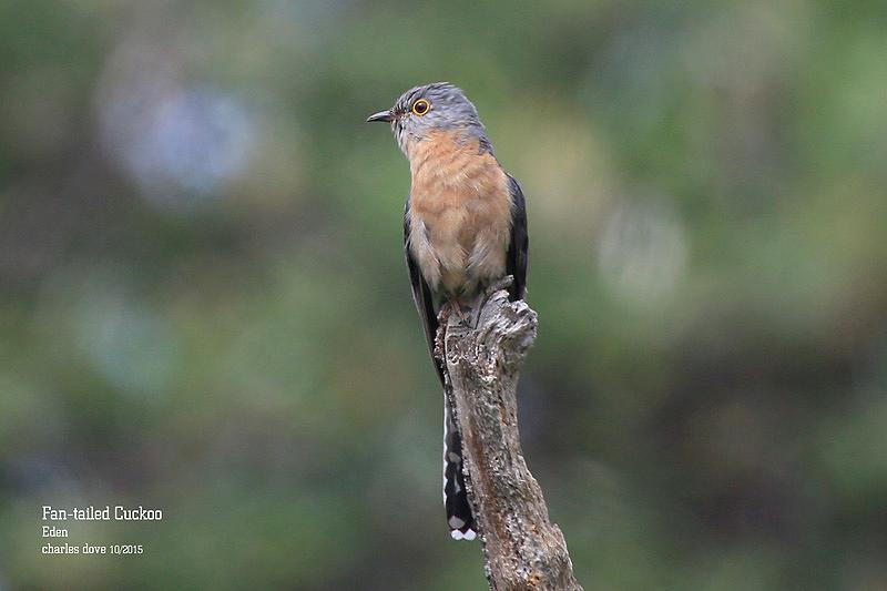 Fan-tailed-Cuckoo_L2A0568