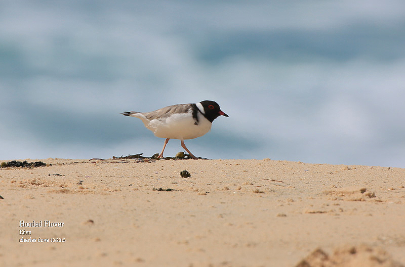 Hooded-Plover_L2A0430