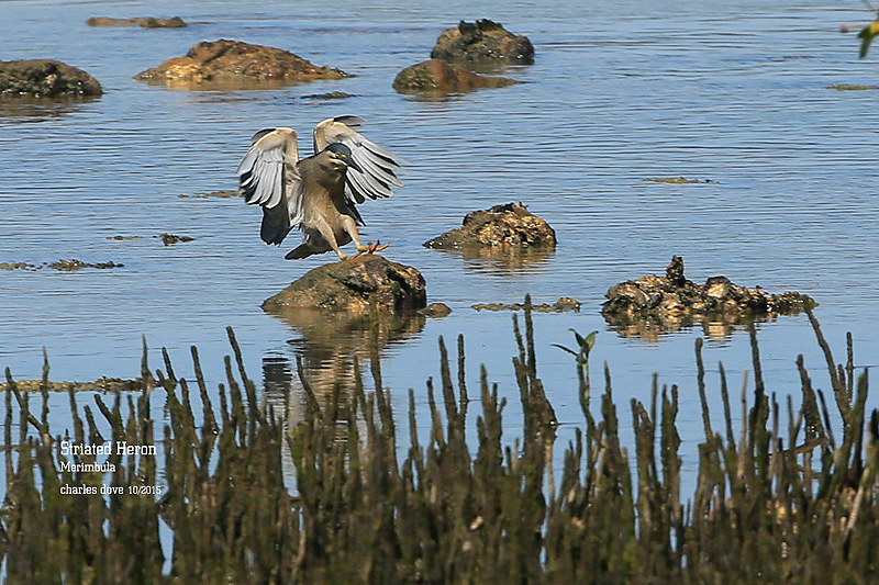 Striated-Heron_L2A0893