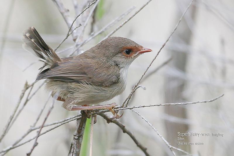 Superb-Fairy-wren-fledgling_L2A9027