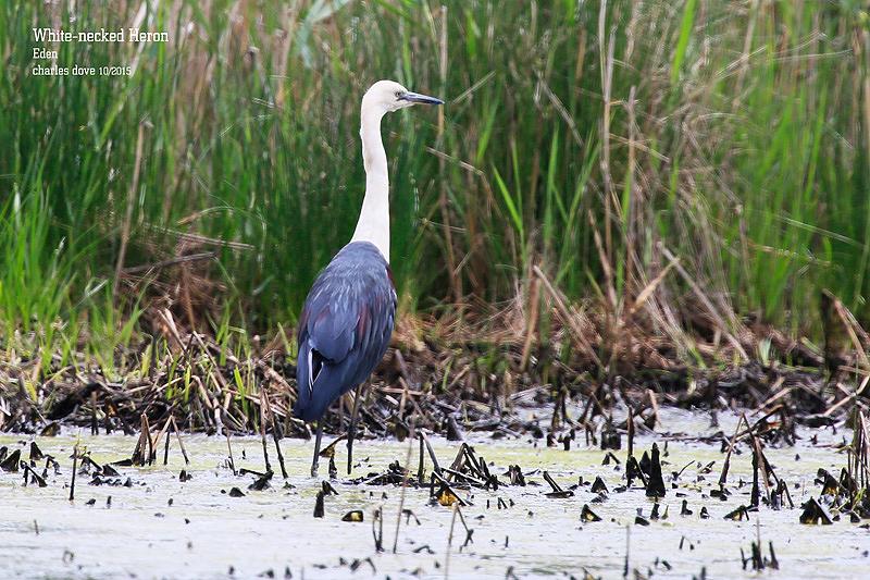 White-necked-Heron_L2A0661