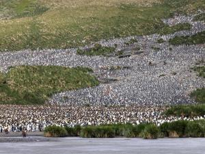 A few King Penguins on Salisbury Plains,Sth Georgia 2014