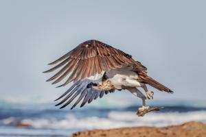 5th Place Osprey by Maria Mazo