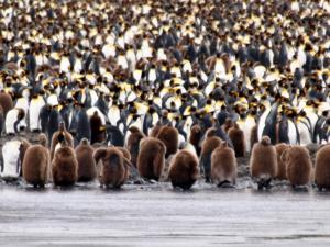 King Penguins in moult - Salisbury Plains, Sth Georgia 2014