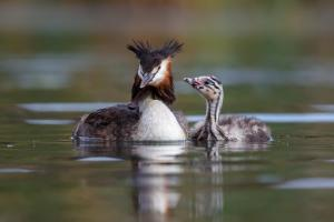 2_59_Group_Great Crested Grebe and Chick