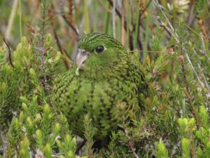 3_36_Eastern Ground Parrot - small