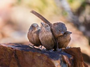 Winner of the Group of Birds Prize:Dusky Grasswrens by Christine Schulte