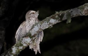 Marbled Frogmouth by Alfred Schulte