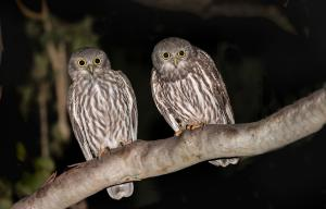 Barking Owls by Alfred Schulte