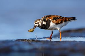 Ruddy Turnstone by Michael Hanvey