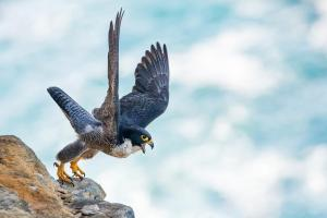 Second Prize:Peregrine Falcon by Michael Hanvey