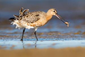 Bar-tailed Godwit by Michael Hanvey