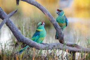 Australian Ringnecks by Michael Hanvey