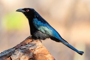 8th Place Spangled Drongo by Geoff Ball