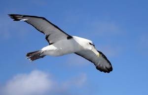 7_86_Albatross Shy RB web