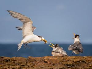 8_76_Crested Terns, Low