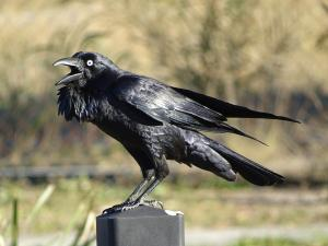 9_18_Australian_Raven