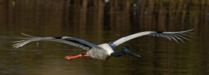 #27 Black-necked Stork f