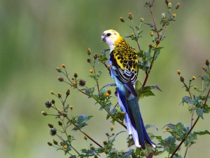 #10  - Pale-headed Rosella