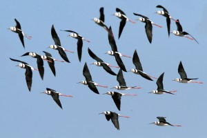 #05 group - Black-winged Stilt