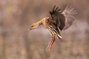 no 5 60_Plumed Whistling-Duck