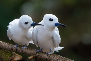 no 3 56_White Terns