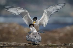 6th place Greater Crested Terns by Maria Mazo