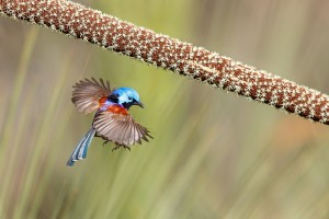 Variegated Fairy-wren   Overall Winner