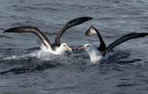 9th place Black-browed Albatrossesby Jodi Webber