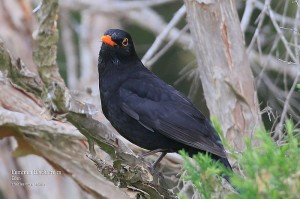 Common-Blackbird-m_L2A8934