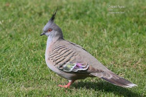 Crested-Pigeon_L2A8588
