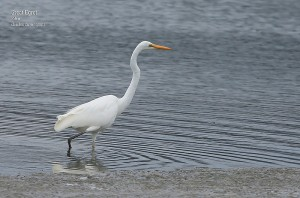 Great-Egret_L2A9049
