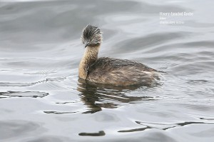 Hoary-headed-Grebe_L2A8968