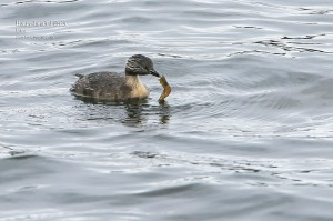 Hoary-headed-Grebe_L2A8988