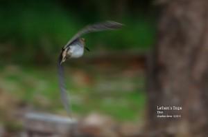 Latham's-Snipe_L2A8920