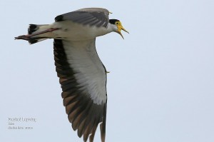 Masked-Lapwing_L2A9080