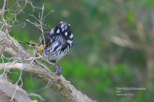 New-Holland-Honeyeater_L2A8872