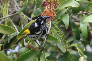 New-Holland-Honeyeater_L2A8888