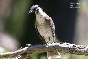 Noisy-Friabird_L2A9473