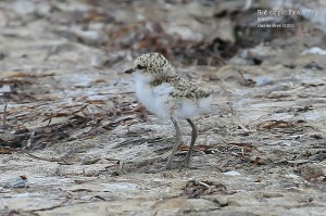 Red-capped-Plover-chic_L2A9085